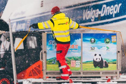Swissport dá boas vindas a dois pandas chineses na Finlândia